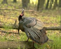 La Turquie mâle sauvage Photos libres de droits