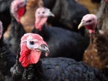 La Turquie noire Photo libre de droits