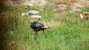 La Turquie noire isolée marche sur un champ vert banque de vidéos