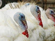 La Turquie posant pour des photographies Image stock