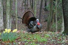 La Turquie sauvage Photo libre de droits