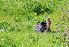 La Turquie sauvage Image libre de droits