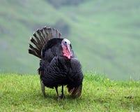 La Turquie sauvage Image stock