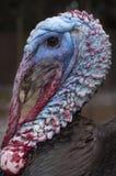 La Turquie sauvage - gallopavo de Meleagris images libres de droits