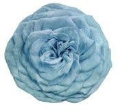 La turquoise de lumière de fleur d'isolement par aquarelle s'est levée sur un fond blanc closeup Pour la conception illustration de vecteur