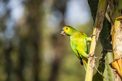 La turquoise sauvage (bleue) a affronté le perroquet d'Amazone accrochant sur la tige de paume Photographie stock