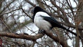 La urraca joven se sienta en una rama y el viento sopla sus plumas metrajes