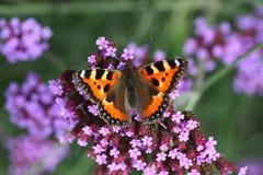 La urticaria-cara de la mariposa se sienta en una flor púrpura Fotos de archivo