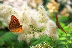 La urticaria de la mariposa se sienta en una flor Imagenes de archivo