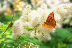 La urticaria de la mariposa se sienta en una flor Fotos de archivo