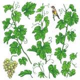 La uva dibujada mano ramifica bosquejo Ilustración del Vector