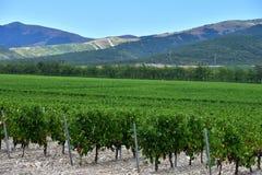 La uva hermosa y verde coloca cerca de las montañas en verano Fotos de archivo