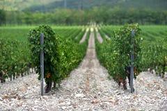 La uva hermosa y verde coloca cerca de las montañas en verano Foto de archivo