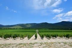 La uva hermosa y verde coloca cerca de las montañas en verano Fotografía de archivo