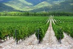 La uva hermosa y verde coloca cerca de las montañas en verano Foto de archivo libre de regalías