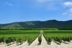 La uva hermosa y verde coloca cerca de las montañas en verano Imagenes de archivo