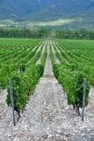 La uva hermosa y verde coloca cerca de las montañas en verano Imagen de archivo libre de regalías
