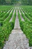 La uva hermosa y verde coloca cerca de las montañas en verano Fotografía de archivo libre de regalías