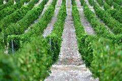 La uva hermosa y verde coloca cerca de las montañas en verano Imágenes de archivo libres de regalías