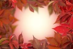 La uva roja sale del marco Imagen de archivo