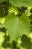 La uva sale del primer Fotos de archivo