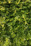 La uva salvaje sale de la pared Imagen de archivo libre de regalías