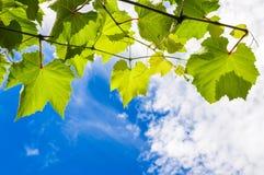 La uva soleada se va en una rama contra el cielo nublado azul Fotos de archivo