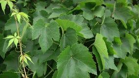 La uva verde lisa hermosa se va en un jardín soleado del verano, primer metrajes
