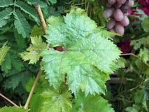 La uva verde sale del primer Fotografía de archivo