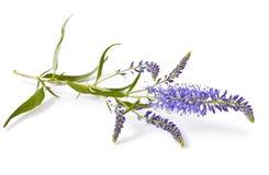 La véronique fleurit (le longifolia de Veronica) images libres de droits