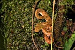 La víbora de la pestaña, tomada dentro de los puentes de ejecución de Arenal se arrastra, Costa Rica imágenes de archivo libres de regalías