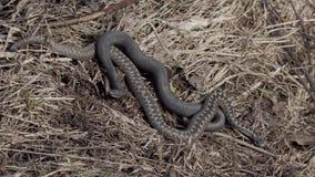 La víbora de la serpiente en hierba seca toma el sol en el sol almacen de metraje de vídeo