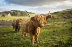 La vaca fotos de archivo libres de regalías