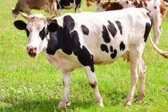 La vaca Fotos de archivo
