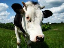 La vaca Imagen de archivo libre de regalías