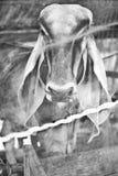 La vaca foto de archivo