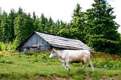 La vaca blanca cerca abandonó la vertiente de madera en el bosque Imagen de archivo
