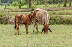 La vaca come la hierba y el becerro juguetones foto de archivo