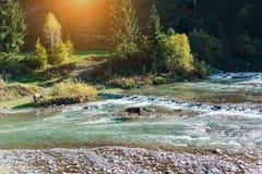 La vaca cruzó el río imagen de archivo libre de regalías