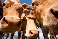 La vaca de Guernesey Imagenes de archivo