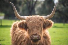 La vaca de la montaña en la granja de la isla de Churchill en la isla de Phillip, estado de Victoria de Australia Imagen de archivo libre de regalías