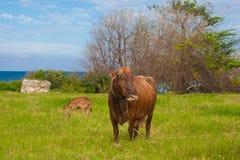 La vaca en el prado Foto de archivo
