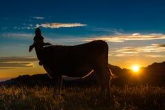 La vaca en la puesta del sol mira para arriba Imágenes de archivo libres de regalías