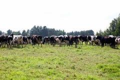 La vaca en prado imagen de archivo libre de regalías