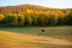 La vaca en la puesta del sol de los prados Imagen de archivo