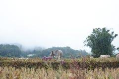 La vaca en terrazas del arroz coloca en Mae Klang Luang, Chiang Mai, Tailandia Foto de archivo