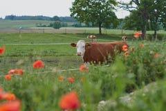 La vaca en una granja con la amapola roja florece Flores de la amapola y cielo azul en el cercano de Baviera Alemania de Munich Fotos de archivo libres de regalías
