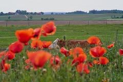 La vaca en una granja con la amapola roja florece Flores de la amapola y cielo azul en el cercano de Baviera Alemania de Munich Foto de archivo