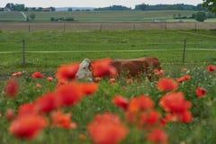 La vaca en una granja con la amapola roja florece Flores de la amapola y cielo azul en el cercano de Baviera Alemania de Munich Imágenes de archivo libres de regalías