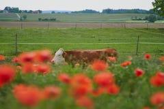 La vaca en una granja con la amapola roja florece Flores de la amapola y cielo azul en el cercano de Baviera Alemania de Munich Imagen de archivo libre de regalías